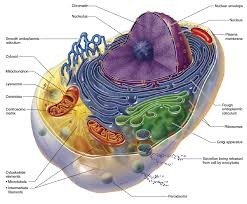 Your Cellular Energry Comes From Your Mitochondrion