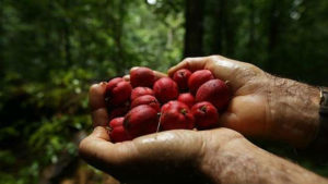 Outback Cure: Cancer Remedy May Have Been Hiding In The Rainforests Of Australia All Along