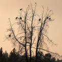 Climate Engineering, Clearcutting, And Record Wildfires